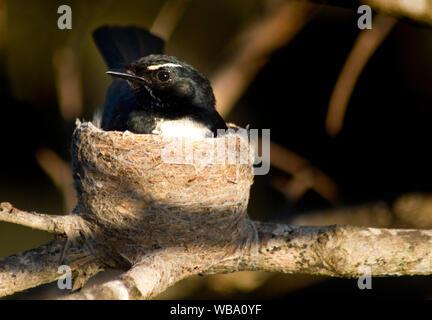 Willie-wagtail (Rhipidura leucophrys), female on nest. Baldwin Swamp, Bundaberg, Queensland, Australia - Stock Photo