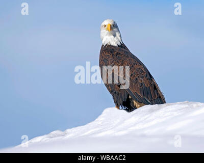 Mature Bald Eagle sitting on snow hill against light blue sky background, looking alert. - Stock Photo