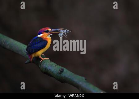 The image of Oriental dwarf kingfisher (Ceyx erithaca) in Alibaug, Maharashtra, India - Stock Photo