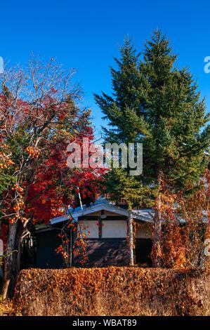 NOV 30, 2018 Shimoyoshida, Japan - Old classic Edo style local Japanese house among colourful autumn tree and persimmon tree with many fruits on branc - Stock Photo