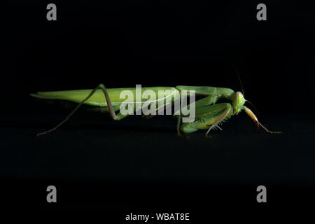 close view of green female mantis religiosa praying mantis on black background - Stock Photo