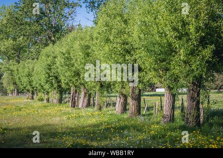 Willow trees in Wegrow County, Masovia region, Poland. - Stock Photo
