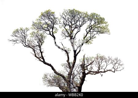 Old Ash Tree With Beautiful Canopy Isolated on White Background. - Stock Photo