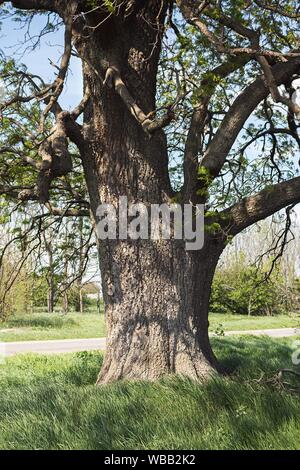 Old Ash Tree With Beautiful Canopy In The Nature. - Stock Photo