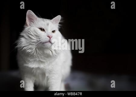 A beautiful white cat is standing on the bed and looking forward with interest and curiosity on dark background. - Stock Photo