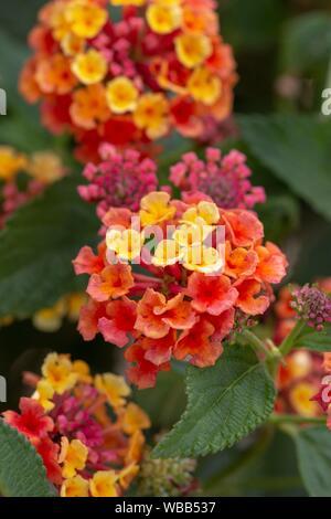 Close up view of the beautiful Lantana camara flower. - Stock Photo