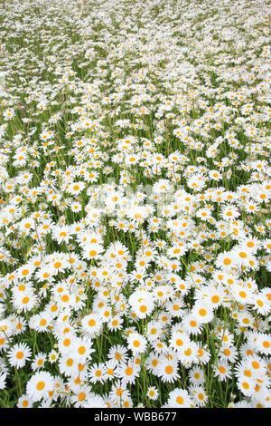 Ox-eye Daisy, Moon Daisy (Leucanthemum vulgare). flowering stand. Switzerland - Stock Photo