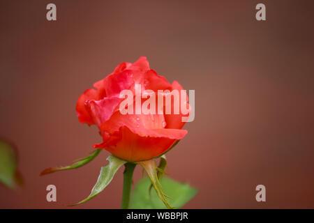 Bud of  Rosa 'Cary Grant' orange colored hybrid tea rose - Stock Photo