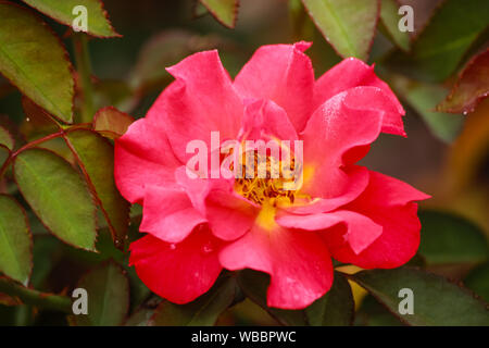Russet  colored Cinco de Mayo a Floribunda Rose with an amazing blend of smoked lavender and rusty red-orange - Stock Photo