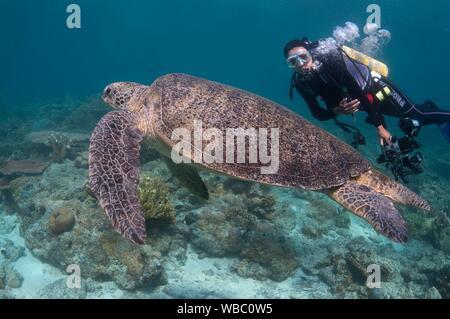Diver (model released) watching Loggerhead Turtle (Caretta caretta, Cheloniidae family) resting on coral reef, Hanging Gardens dive site, Sipadan - Stock Photo