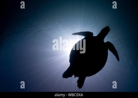 Green Turtle (Chelonia mydas, Cheloniidae family) swimming in silhouette against the sun, Hanging Gardens dive site, Sipadan Island, Sabah, Malaysia. - Stock Photo