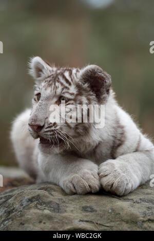 Royal Bengal Tiger / Koenigstiger ( Panthera tigris ), young cub, kitten, white leucistic morph, lying on rocks, resting, watching around, looks cute - Stock Photo