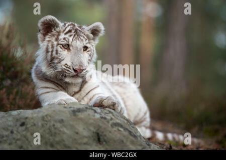 Bengal Tiger / Koenigstiger ( Panthera tigris ), young cub, white leucistic morph, lying on rocks, resting, watching around, looks cute and funny.