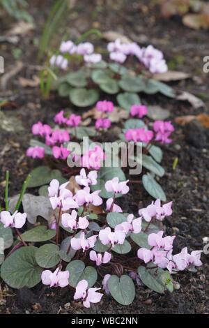 Pink cyclamens, cyclamen coum flowers in a garden - Stock Photo