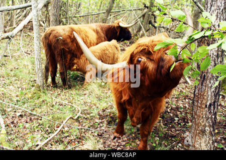 close up of a Scottish highland cow with a cow and a young calf suckling in background in nature protection site in Tallinn, Estonia - Stock Photo