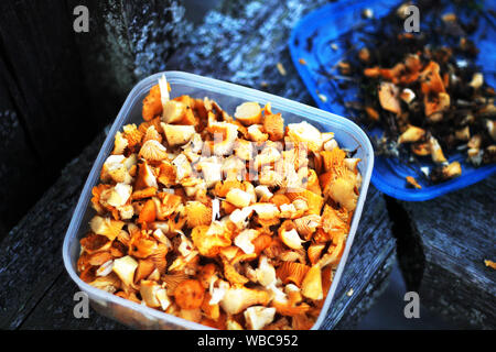 Self picked and chopped chanterelle, cantharellus cibarius mushroom in a plastic container - Stock Photo