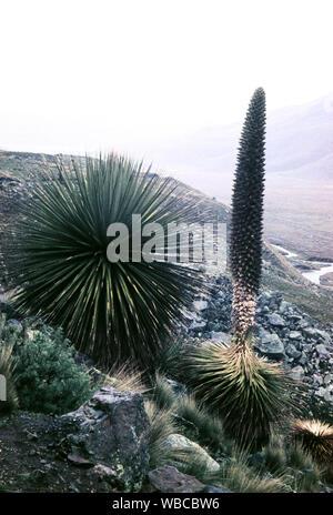 Noch verschlossene Puya Raimondii, Bromeliengewächs, beheimatet in Peru, 1960er Jahre. Still closed Puya Raimondii, bromeliad at Peru, 1960s. - Stock Photo