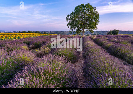 Lavender and sunflower field, Lavandula angustifolia, Plateau de Valensole, France, Provence-Alpes-Cote d'Azur, France - Stock Photo