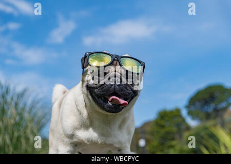 Mousehole, Cornwall, UK. 26th August 2019. UK Weather. Titan the pug out in his garden on a hot bank holiday Monday.  Credit Simon Maycock / Alamy Live News. - Stock Photo