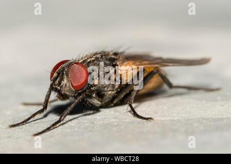 Fliege Facettenauge Makro / Fly compound eye macro - Stock Photo