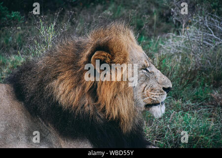 profile view of head of male adult lion against green vegetation - Stock Photo