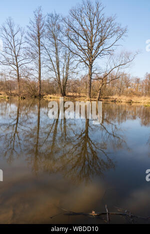 Slanaky oxbow lake with trees reflected on water ground and clear sky near Odra river and near Studenka town in early spring CHKO Poodri in Czech repu - Stock Photo