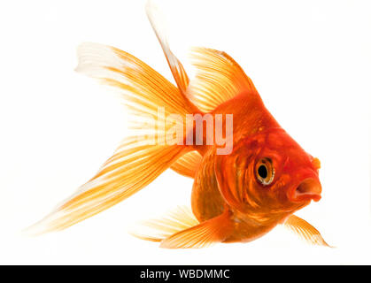 Isolated Approaching Goldfish swimming towards camera, close-up on white - Stock Photo