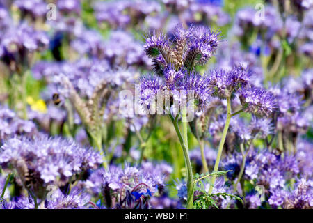 Phacelia (phacelia tanacetifolia), an introduced species becoming widely planted in field margins to attract insects and as a green manure. - Stock Photo