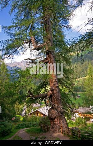 Millenary larch (Larix decidua) in Santa Gertrude, Val d'Ultimo (Ultental), Bolzano, Trentino Alto Adige, Italy - Stock Photo