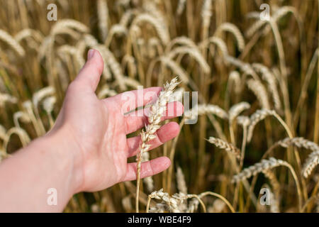 Farmer checks the quality of wheat ears, field with young ears of wheat close up on a rainy day, cereals, agriculture - Stock Photo