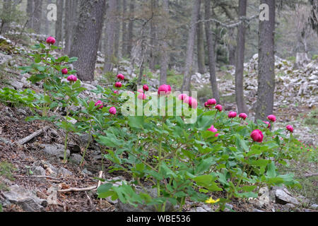 cedar forest in antalya looks better with peony flowers - Stock Photo