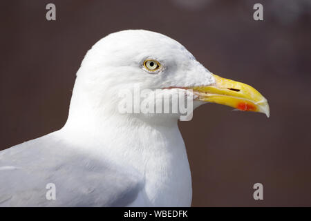 Gulls or seagulls are seabirds of the family Laridae in the suborder Lari. - Stock Photo