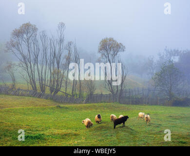 small sheep herd grazing in the thick fog. wonderful rural scenery. six white an one black farm animals having fun in such weather. trees behind the f - Stock Photo