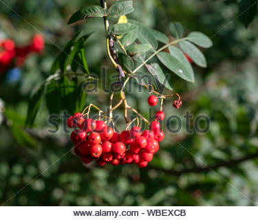 Sorbus aucuparia, commonly called rowan and mountain-ash, is a species of deciduous tree or shrub in the rose family. - Stock Photo
