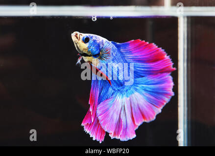 Close-up Of Blue Siamese Fighting Fish In Tank - Stock Photo