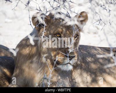 Portrait Of Female Lion Under Thorny Bush In Etosha National Park, Namibia, Africa - Stock Photo