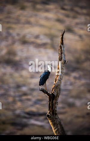 Asian woolly necked stork or Asian white necked stork bird pair on a dead tree perch with beautiful isolated background at ranthambore tiger reserve - Stock Photo