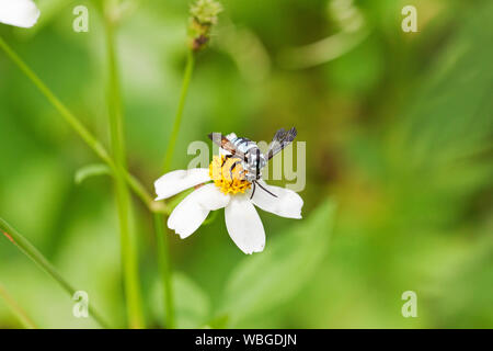Blue Bee collecting nectar from wild flowers - Stock Photo