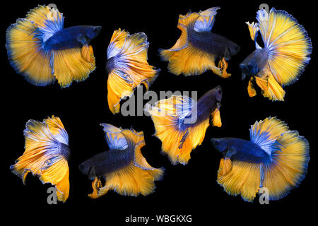 Collection Of Betta Fish Isolated On Black Background, Action Moving Moment Of Mustard Over Half Moon Betta, Siamese Fighting Fish - Stock Photo