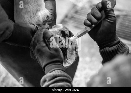 Cropped Image Of Man Cleaning Horse Hoof With Knife - Stock Photo
