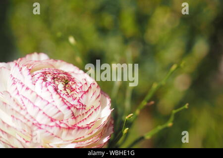 Close-up Of Pink Flower - Stock Photo