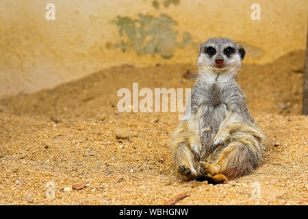 Portrait Of Meerkat Relaxing On Field - Stock Photo