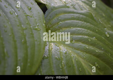 Beautiful tropical Hosta leaves with drops of water. Ornamental Hosta plant for landscaping park and garden design. Large lush green leaves with strea - Stock Photo
