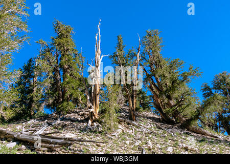 Amazing Ancient Bristlecone Pine Forest