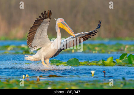 The great white pelican landing with open wings on the water, with it's legs touching the water with big splash. Photo taken in Danube Delta. - Stock Photo