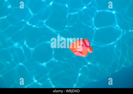 Toy Fish Floating In Swimming Pool - Stock Photo