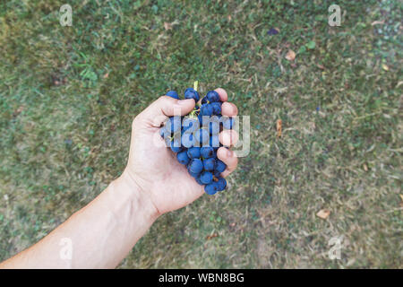 Cropped Image Of Hands Holding Grapes - Stock Photo