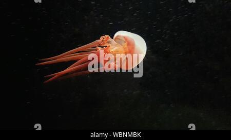 Jellyfish Swimming Underwater - Stock Photo
