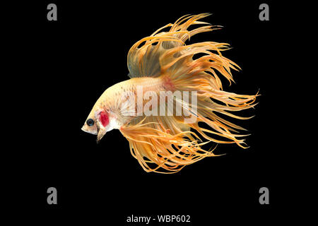 Side View Of Siamese Fighting Fish Against Black Background - Stock Photo