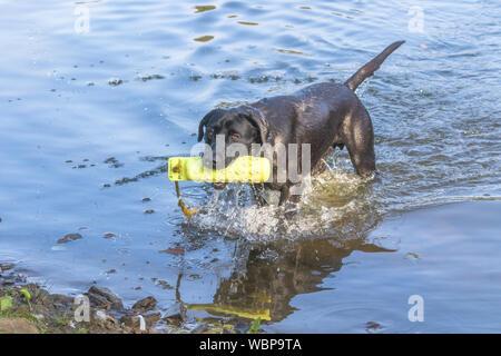 A black Labrador retriever coming out of a lake after retrieving a gundog dummy. - Stock Photo